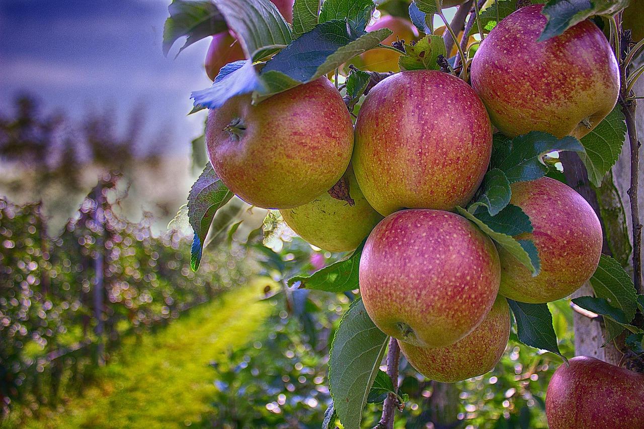 apple farm in Ontario