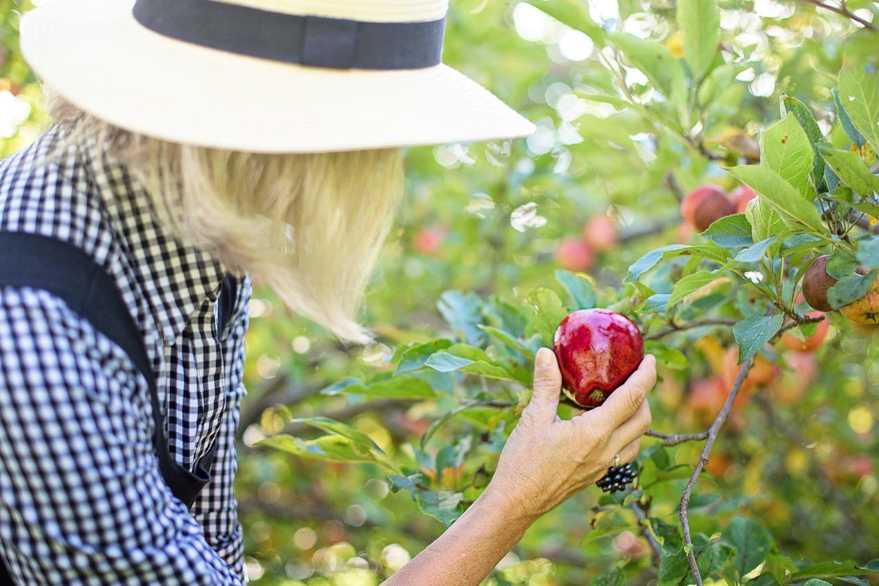 apple picking in Ontario
